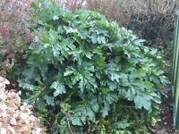 Very large Acanthus Spinosus
