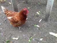 Warren hen for sale