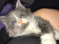 BSH cross Kittens