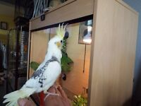 Cockatiel Baby's For Sale £80.00 FIRM