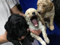 Poodle Puppies (Moyen) standard/miniature only 6 left