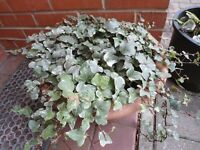 A large and heavy pot of English ivy plants