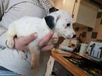 Pure breed miniature Jack Russell puppys