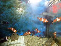 tank bred percula clownfish ( medium) (ONLY 5 LEFT)
