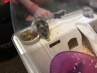 Male Russian Dwarf Hamster, Cage & All Accessories