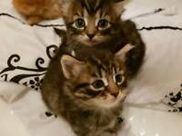 Gorgeous Female Kittens for Sale