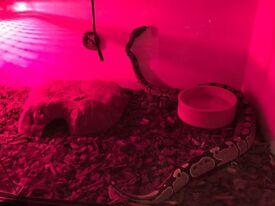Ball python and viv