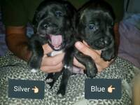 Beautiful Staffy X Puppies for sale