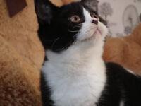 Stunning Pedigree British Shorthair Kitten