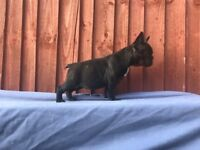 stunning french bulldogs fully vaccinated