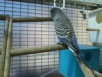 Young blue male budgie