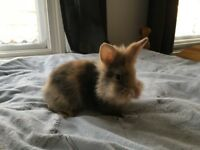 Small Rabbit For Sale In Wood Green London