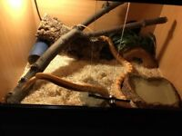 Corn Snake with viv and setup