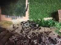 Young royal python for sale including viv