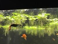 Floating Aquarium Plant - Dwarf Water Lettuce