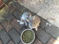 Dwarf baby rabbits £40 each or 2 for £60