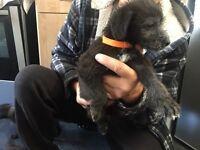 Bedlington X Whippet puppies