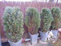 Free x4 Conifers in zinc planters