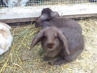 Brown mini lop rabbit