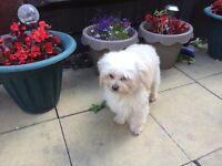 Maltese X poodle