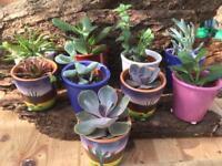 Succulent in colourful pot gift terrarium