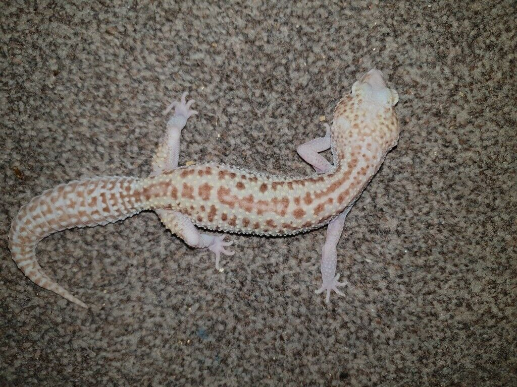 Leopard gecko morphs | in Southampton, Hampshire | Gumtree