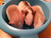 Baby Dumbo Rats for Sale