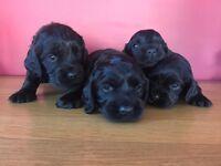 For Sale KC Registered Cocker Spaniel Pups