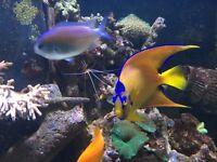 "Stunning 5"" Queen Angel fish for marine fish tank aquarium"