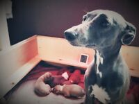 Kennel Club registered Whippet puppies