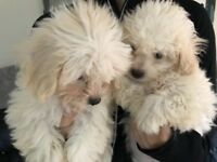 Cavachon girl Puppies