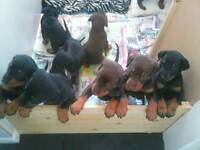 Pedigree doberman puppies champion bloodlines