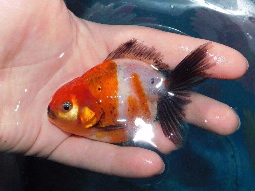 Baby Oranda fancy goldfish for sale!