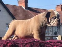 Kc reg blue fawn British bulldog pups