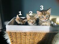 Adorable Tabby kittens Male