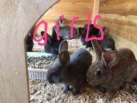 Continental baby rabbits