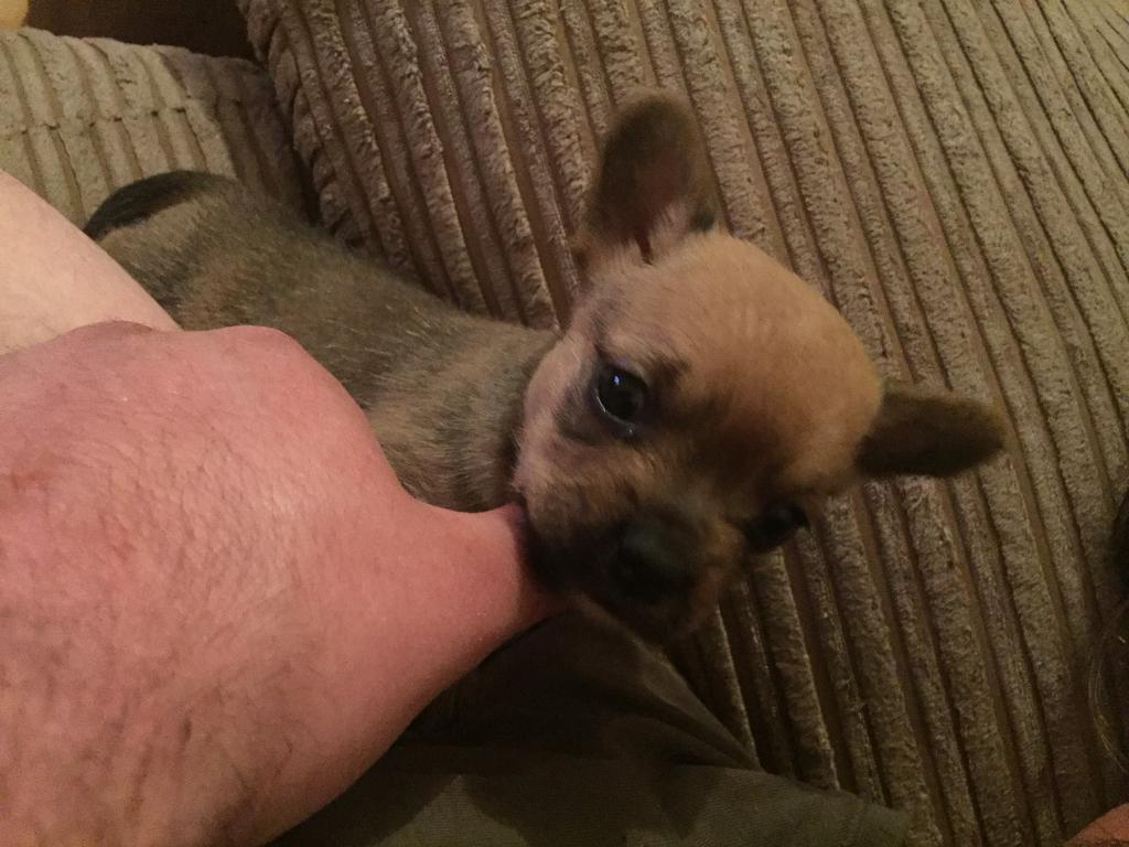 French Bulldog X Toy Yorkshire Terrier Pups In Southside Glasgow
