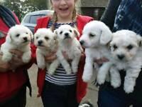 5 Caishon puppies