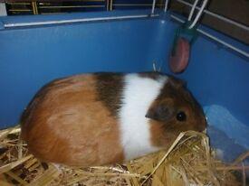 guinea pigs 10each
