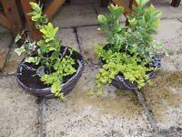 Two garden hanging baskets