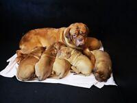 World Champion Bloodline Dogue de Bordeaux Puppies