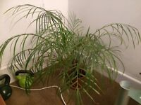 Large palm plant