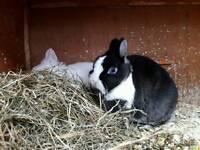 Purebred rabbits for sale