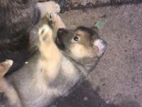 Alaskan Malamute x GSD male pup