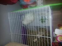 2x female guinea pigs