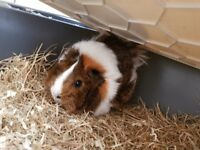Yang guinea pig 7-8 month old