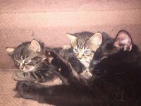 2 Girl kittens