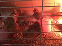 Young Polish roosters free to good home