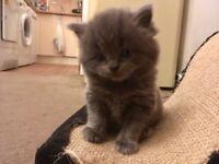 5 part Norwegian forest kittens for sale £300