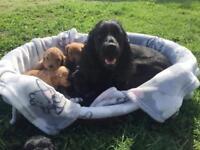 F1 cockerpoo puppy